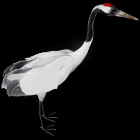 This is a semi realistic model and animations of a Red-crowned crane(Grus japonensis).