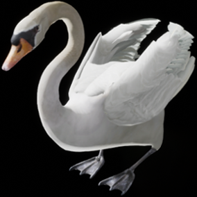 This is a semi realistic 3D model and animations of a Swan.