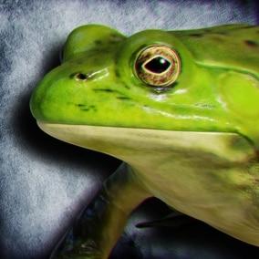 Animated Game Ready American Bullfrog