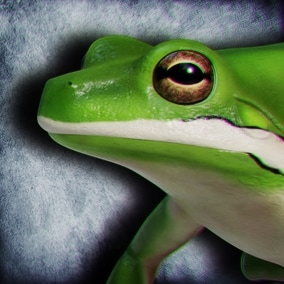 Animated Game Ready American Green Tree Frog