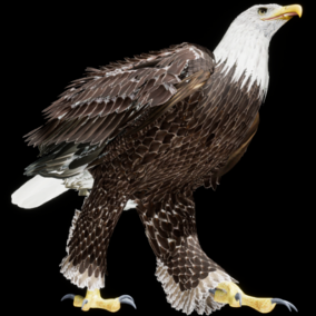 This is a 3D model and animations of a Bald eagle.