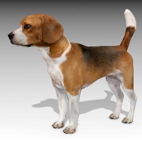 Beagle 3d model animated