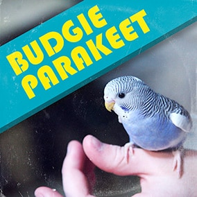 Budgie Parakeet sound effects library