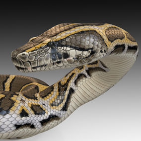 Animated detailed Burmese python  with PBR textures.
