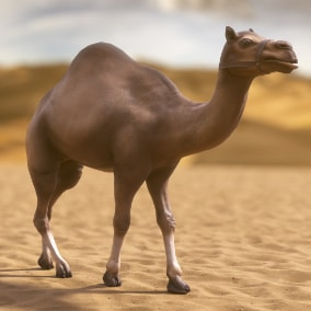 Desert Camel with 10 Animations