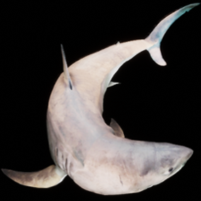 3D model of a Great White Shark with animations.