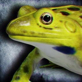 Animated Game Ready Indian Bullfrog