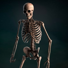 High-quality realistic low-poly 3D models of human skeleton.