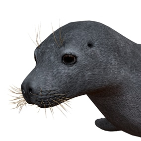 This asset contains a realistic model of a seal with 55 animations (IP/RM)