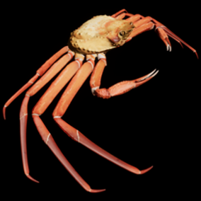 This is a 3D model and animations of a snow crab.