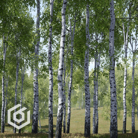 Pack of realistic birch trees