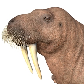 This asset contains a realistic model of a walrus with 51 animations (IP/RM)