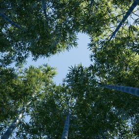 Bamboo,Ligustrum_lucidum,Loquat,Salix